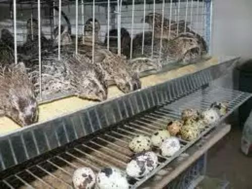 aprenda como fazer ração para codornas ou galinhas