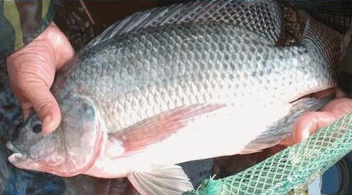 Resultado de imagem para curso para criação de peixe em caixa de agua