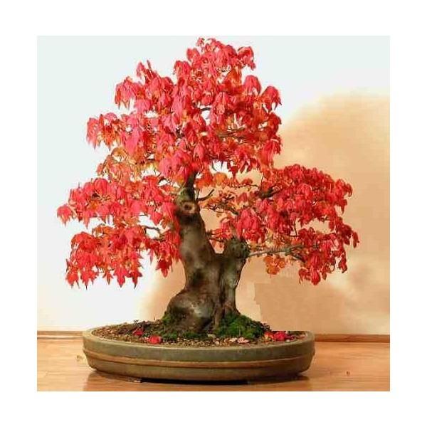 Kit bonsai acer palmatum acer rubrum e pinheiro negro - Arce rubrum bonsai ...