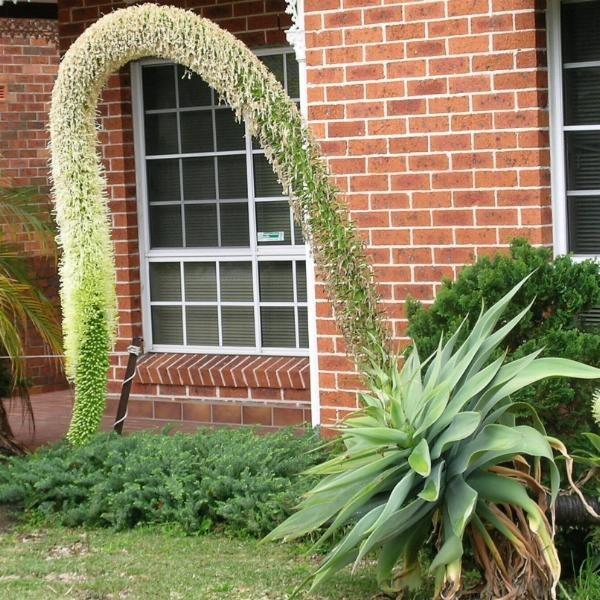 decoracao para jardins mercado livre : decoracao para jardins mercado livre:muda de agave attenuata (agave dragão) ideal para jardins