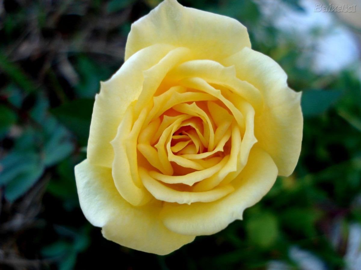 flor de jardim amarela:Rosa Amarela Yellow Sementes Flor Para Mudas – R$ 9,99 em Mercado