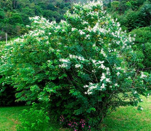 sansão do campo - cerca viva sementes para mudas