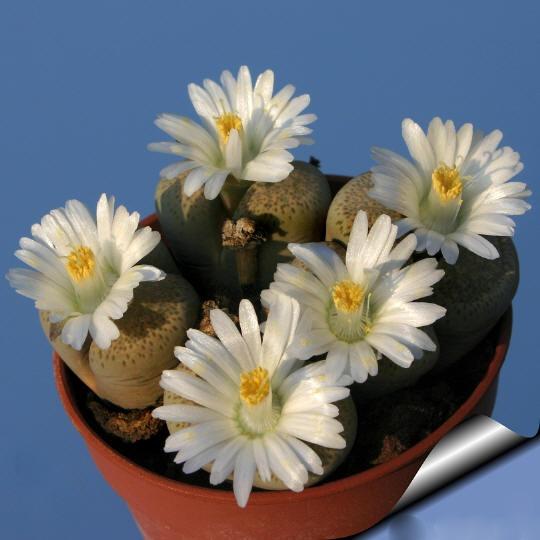 pedras para jardim mercado livre : pedras para jardim mercado livre: De Cacto Pedra Lithops Super Mix P/ Mudas – R$ 9,99 em Mercado Livre