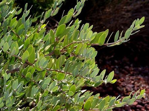 plantas de jardim lista:Sementes De Jojoba – Bulbos Mudas Rizomas Plantas Jardim – R$ 22,50 em