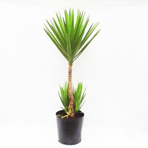 Yucca yuka yucca no vaso de pl stico r 60 99 em mercado for Yuca planta de exterior